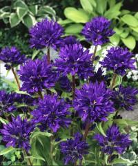 Foto: Kneuelglockenblume lila