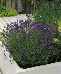 Foto: Lavendel