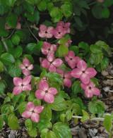 Foto: Rosa Chinesischer Blumenhartriegel