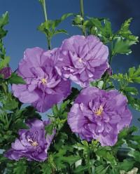 Foto: Hibiscus lila