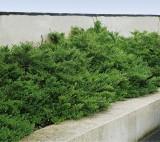 Foto: Immergrüne niedere Heckenkirsche