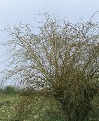 Foto: Große Korkenzieherweide