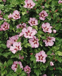 Foto: Hibiscus rosa
