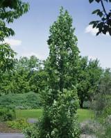Foto: Säulen-Tulpenbaum