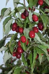 Foto: Frucht-Kornelkirsche