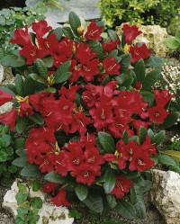 Foto: Zwergrhododendron