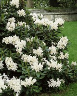 Foto: Rhododendron