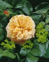Foto: English Garden®