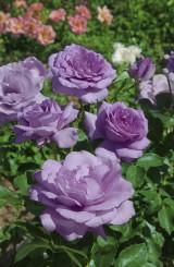 Foto: Rhapsody in Blue®