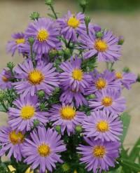 Foto: Kissenaster violett