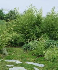 Foto: Mittelhoher Grünhalm-Bambus