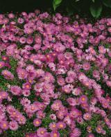 Foto: Kissenaster rosa