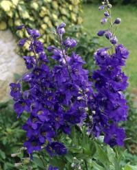Foto: Rittersporn violett