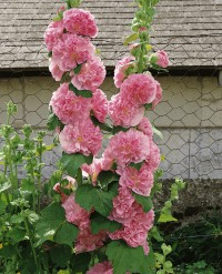 Foto: Stockrose rosa