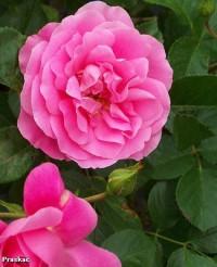 Foto: Play Rose