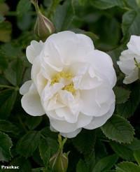 Foto: Blanc Double de Coubert