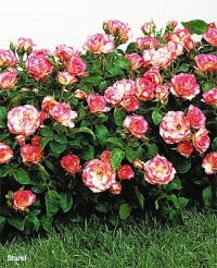 Foto: Bordüre Rose®