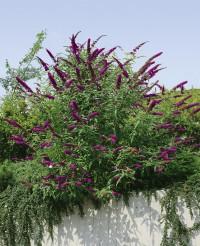 Foto: Schmetterlingsstrauch violett