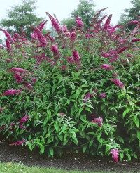 Foto: Schmetterlingsstrauch rosa