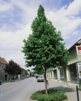 Foto: Baumhasel