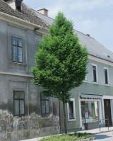 Foto: Säulenhainbuche