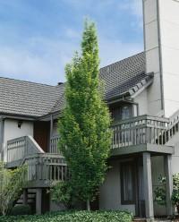 Foto: Schmale Säulenhainbuche