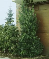 Foto: Grüne schlanke Stechpalme
