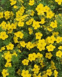 Foto: Gelbblühender Fünffingerstrauch