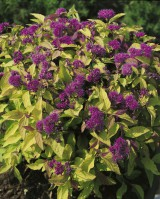 Foto: Sommerspiere 'Goldflame'