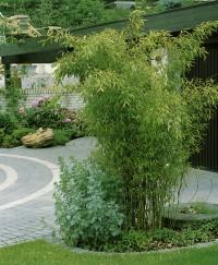 Foto: Mittelhoher Gartenbambus