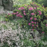 Foto: Alpenrose