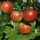 Foto: Herbstapfel Royal Galla
