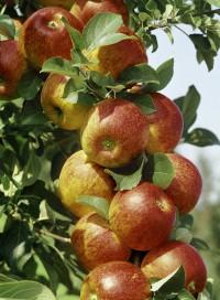Foto: Herbstapfel Alkmene