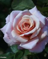 Foto: Charming Rose®