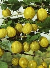 Foto: Stachelbeere gelb