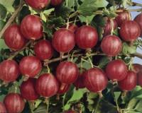 Foto: Stachelbeere rot