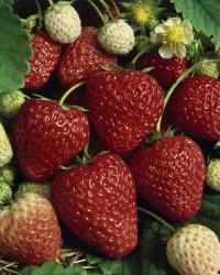 Foto: Ananas-Erdbeere