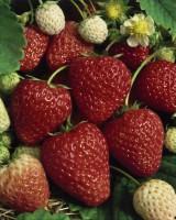 erdbeere ostara pictures