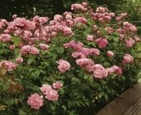Foto: The Queen Elizabeth Rose®