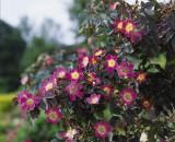 Foto: Rotblättrige Rose