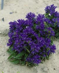 Foto: Knäuelglockenblume violett
