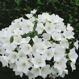 Foto: Karpatenglockenblume weiß