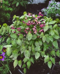 Foto: Elfenblume rot