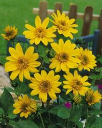 Foto: Sonnenblume